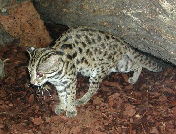 Le chat l opard - Chat type leopard ...